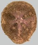 Brachysternaster chesheri (aboral)