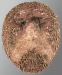 Brachysternaster chesheri (oral)