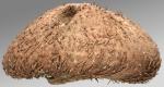 Brachysternaster chesheri (lateral)