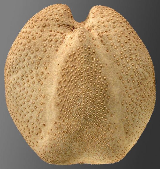 Brisaster antarcticus (oral)