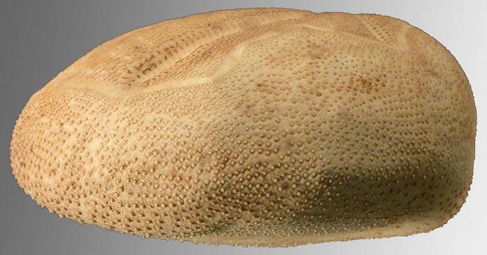 Brisaster antarcticus (lateral)