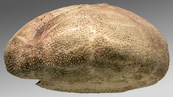 Brisaster moseleyi (lateral)