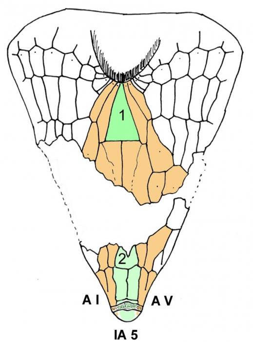 Ceratophysa ceratopyga (oral plating)
