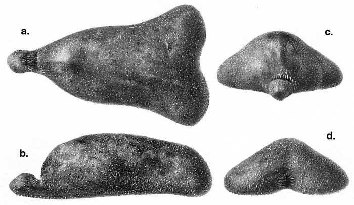 Ceratophysa ceratopyga (Challenger Expedition)