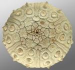 Ctenocidaris speciosa infected by Echinophyces mirabilis (aboral)