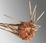 Ctenocidaris speciosa (oral)