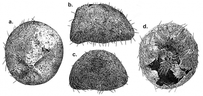 Delopatagus brucei (test with spines)