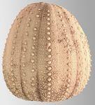 Dermechinus horridus (lateral)
