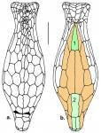 Echinosigra amphora (schematic)