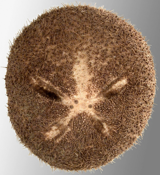 Genicopatagus affinis (oral)