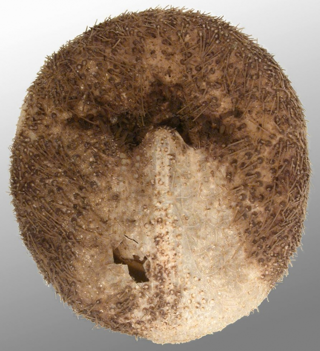Genicopatagus affinis (aboral)