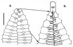 Kamptosoma asterias (ambulacral plates)