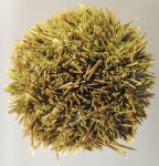 Loxechinus albus (aboral)