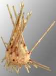 Notocidaris gaussensis (aboral)