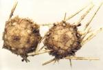 Notocidaris hastata (male and female, aboral)