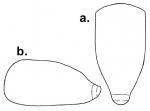 Pourtalesia debilis (test, schematic)