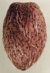Pourtalesia hispida (aboral)