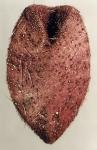 Pourtalesia hispida (oral)