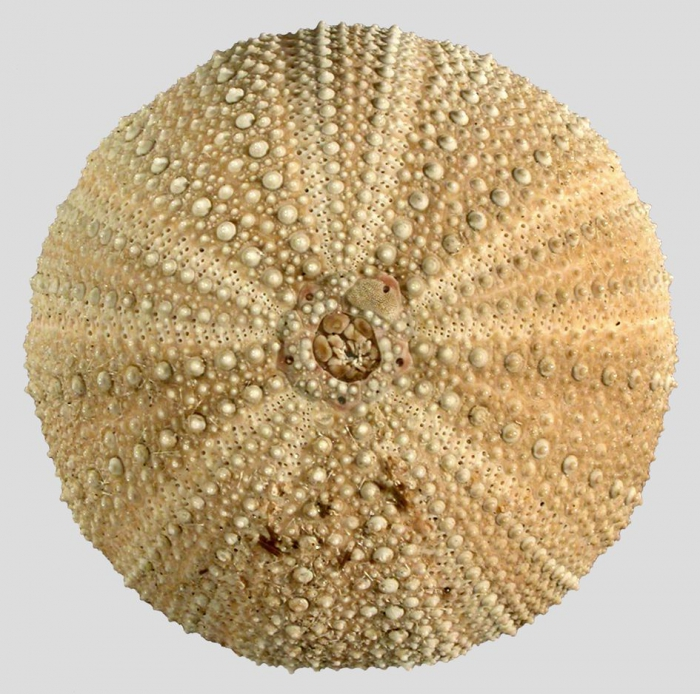 Pseudechinus novaezealandiae (aboral)