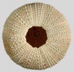 Pseudechinus novaezealandiae (oral)