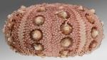 Rhynchocidaris triplopora (lateral)