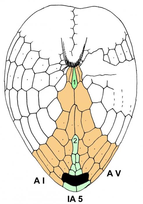 Spatagocystis challengeri (oral plating)