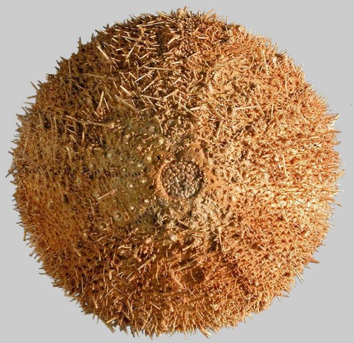 Sterechinus agassizi (aboral)
