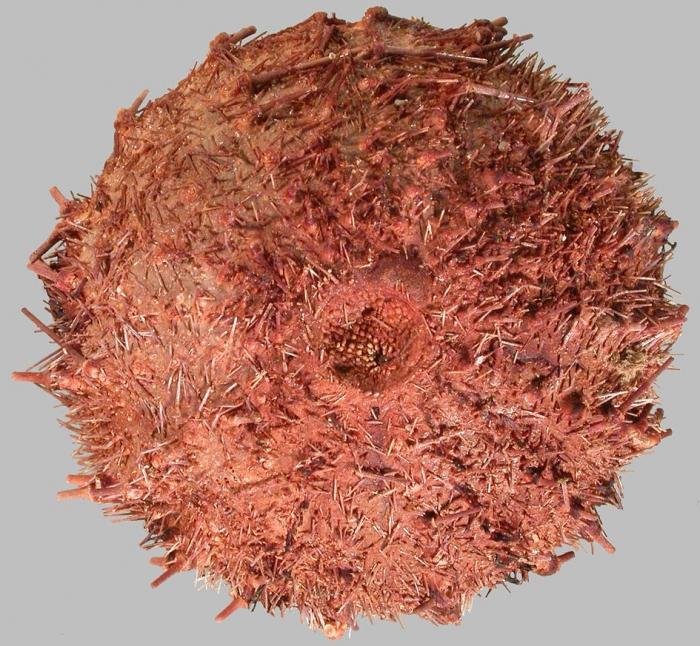 Sterechinus neumayeri (aboral)