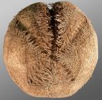Tripylaster philippii (aboral)