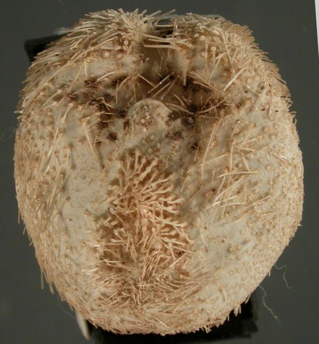 Tripylaster philippii (oral)