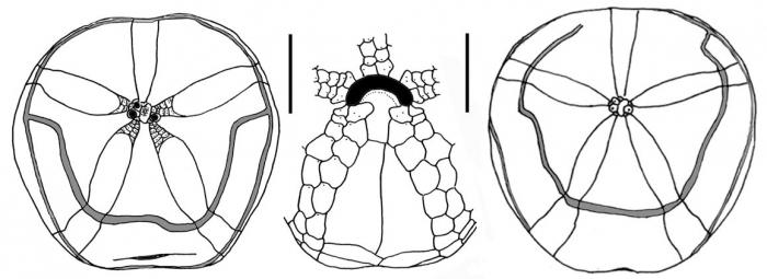 Tripylus abatoides (aboral + oral plating)