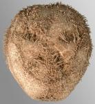 Tripylus abatoides (aboral)