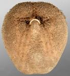 Tripylus abatoides (oral)