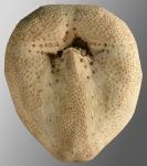 Tripylus cordatus (oral)