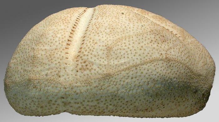 Tripylus cordatus (side)
