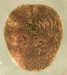 Tripylus cordatus (aboral)