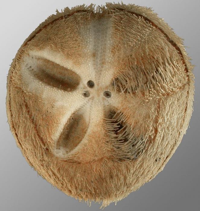 Tripylus excavatus (aboral)
