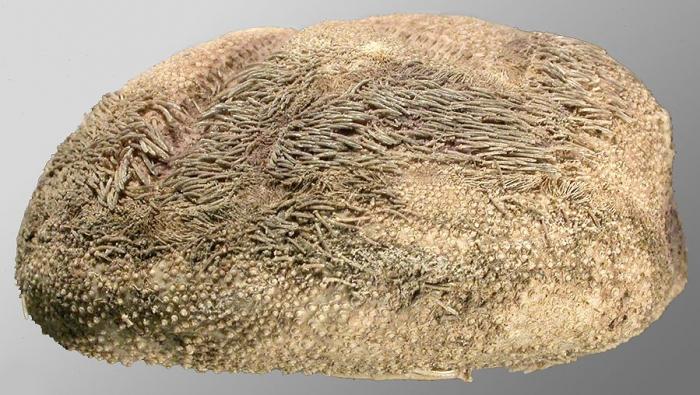 Tripylus excavatus (lateral)