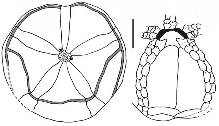 Tripylus excavatus (male)