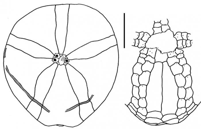 Tripylus reductus (male)