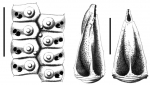 Aporocidaris antarctica (ambulacral plates + pedicellariae)