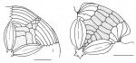 Scutellina (adapical plating)