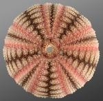 Microcyphus zigzag (aboral)