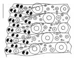 Toxopneustes pileolus (ambulacral plates)