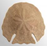Echinodiscus auritus (aboral)