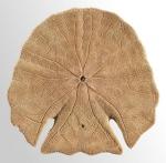 Echinodiscus auritus (oral)