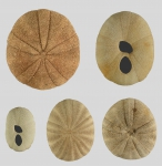 Echinoneus cyclostomus (variability in shape)