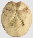 Metalia sternalis (aboral)