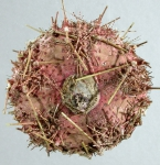 Astropyga radiata (aboral)