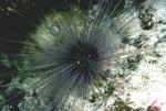 Diadema setosum (in situ)